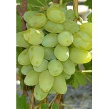 Саджанці винограду Бажена