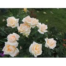 Саджанці чайно-гібридних троянд Версилия