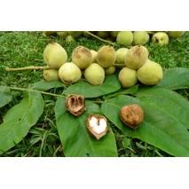 Саджанец чорного (манжурского) горіха