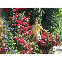Саджанці плетистих червоних троянд