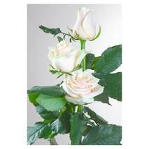 Саджанці троянд Талея