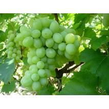 Саджанці винограду Кеша