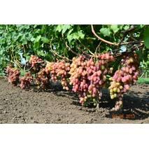 Саджанці винограду Перетворення