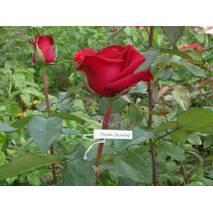 Саджанці троянд Мадам Дельбар