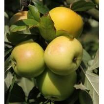 Саженцы яблони Мутсу