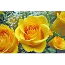 Саджанці троянд Жовтий Острів