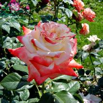 Саджанці троянд Імператриця Фарах