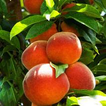 Саджанці колоновидного персика Тотем Садівника