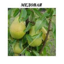 Саджанці колоновидной груші Медова