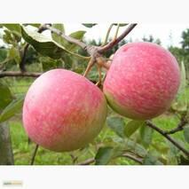 Саженцы яблони Слава Победителям