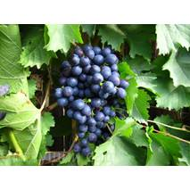 Саджанці винограду Киш-мишей Магарача