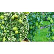 Саджанці колоновидной груші Санреми