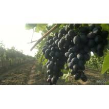 Саджанці винограду Молдова