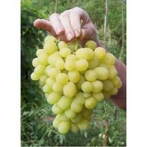 Саджанці винограду Лора
