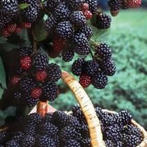 Саженцы черной малины (сорт Кумберленд)