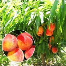 Саджанці колоновидного персика Штайнберг