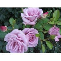 Саженцы чайно-гибридных роз Голубой Нил