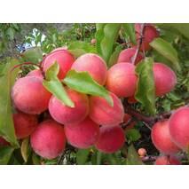 Саженцы абрикоса Краснощекий