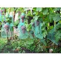 Саджанці винограду Гурман
