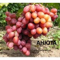 Саджанці винограду Анюта