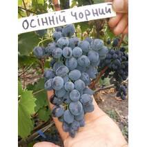 Саджанці винограду Осінній чорний