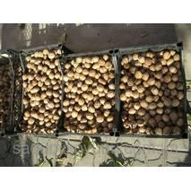 Саджанці волоського горіха Велетень (дворічний)
