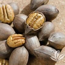 Саджанці горіха Пекана Канза (однорічні)