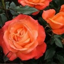 Саджанці троянд Анжеліка