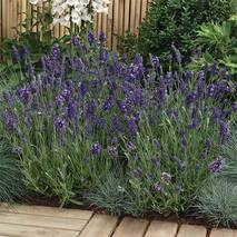 Лаванда Ellagance Purple (саженцы)