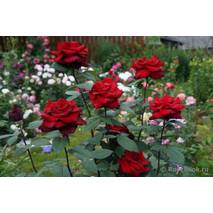 Саженцы роз Бургунд