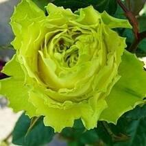 Саджанці троянд Зелена планета