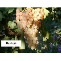 Саджанці винограду Знахідка