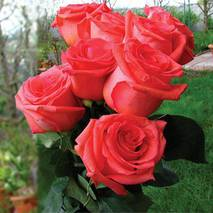Саджанці троянд Імпульс
