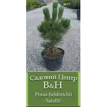 Сосна Гельдрейха (Pinus heldreichii Satellit)