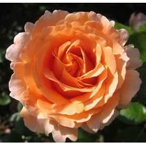 Саженцы розы сорта Polka (Полька)
