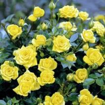 Роза бордюрная Желтая кукла (Yellow doll)