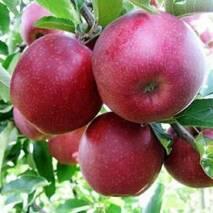 Яблоня зимняя сорт Ред Джонапринц