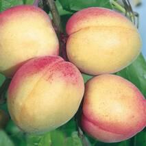 Саженцы абрикоса сорт Фелпс