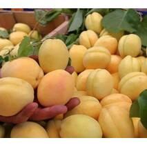 Саженцы абрикоса сорт Ананасный Шалах