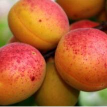 Саженцы абрикоса Голд Рич