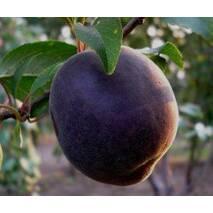 Саженцы абрикоса сорт Черный принц