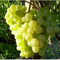 """Саджанці винограду сорт """"Алекса Рання"""""""