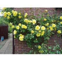 Саджанці троянд сорт Golden Showers (Голден Шауэрс)