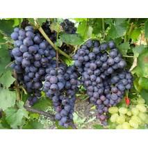 Саджанці винограду сорт Муромец