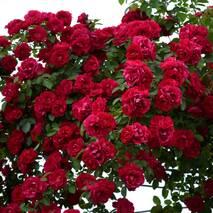 Саженцы плетистой розы Flamentanz (Фламентанз)