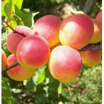 Саженцы абрикоса сорта Краснощекий
