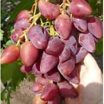 Саджанці винограду сорт Дубовский
