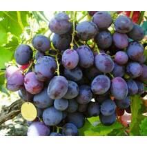 Саженцы винограда сорт Армани