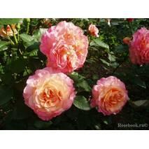 """Саженцы роз сот """"Августа Луиза"""" (Rose Augusta Luise)"""
