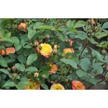 Саженцы розы сорта Rumba (Румба)